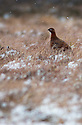 11/12/14<br /> <br /> A grouse surrounded by snow in heather on Axe Edge Moor near Buxton in the Derbyshire Peak District.<br /> <br /> ***ANY UK EDITORIAL PRINT USE WILL ATTRACT A MINIMUM FEE OF £130. THIS IS STRICTLY A MINIMUM. USUAL SPACE-RATES WILL APPLY TO IMAGES THAT WOULD NORMALLY ATTRACT A HIGHER FEE . PRICE FOR WEB USE WILL BE NEGOTIATED SEPARATELY***<br /> <br /> <br /> All Rights Reserved - F Stop Press. www.fstoppress.com. Tel: +44 (0)1335 300098