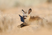 Bat-eared fox pup lying at burrow entrance