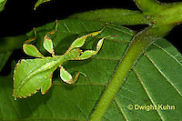 OR14-523z  Leaf Insect female, Phyllium spp., Phillipines