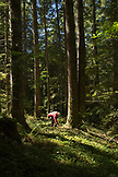 USA, Oregon, Willamette Valley, shots of Jack Czarnecki hunting for Chanterelle mushrooms in the forest in the Coastal Range Mountains off of Meadow Lake Road, Carlton