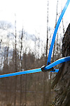 Maple sap pipeline
