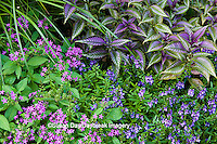 65821-00209 Pentas (Pentas lanceolata 'Graffiti Violet'), Summer Snapdragon (Angelonia Serena Purple), Perisan Shield (Strobilanthus dyerianus 'Persian Shield') Terrace Garden at Sarah P. Duke Gardens, Durham, NC