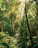 PANAMA, David, Guadalupe, Los Quetzales Lodge, thick lush cloud forest is backlight by the sun, Central America