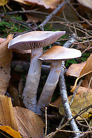 Cortinarius alboviolaceus. Rusty brown spores can been seen dropped on lower mushroom capt, and caught up in the cortina of both individuals. Mycorrhizal with hardwoods. Hocking State Forest, Ohio, USA.