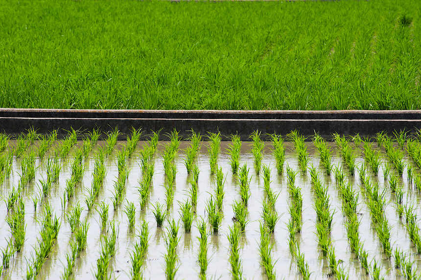 Two rice paddies at different stages of growth, Shikoku, Japan