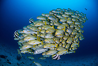 Mixed school of Diagonal-Banded Sweetlips, Plectorhinchus lineatus, Ribbon Sweetlips, Plectorhinchus polytaenia, Goldstriped Sweetlips, Plectorhinchus chrysotaenia, and a Blubberlips, Plectorhinchus gibbosus. Raja Ampat, West Papua, Indonesia, Indian Ocean