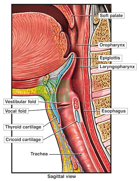 Anatomy Of The Upper Respiratory Tract Doctor Stock