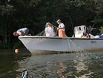 Maryland Department of Natural Resources biologists Chuck Stence (kaki hat), Mark Bowermaster (not hat), Mike Porta (camouflage hat) and Matt Baldwin (visor) use a gill net to catch sturgeon in Marshyhope Creek, a tributary of the Nanticoke River.   They will weigh, measure, take a DNA sample and place sensors in and on the fish to track it's whereabouts as part of a long term study of the fish. The fish are returned to the exact place where they were caughtt.   Once thought to be  extinct in the Nanticoke, the fish are showing up again, though they are now a protected species.