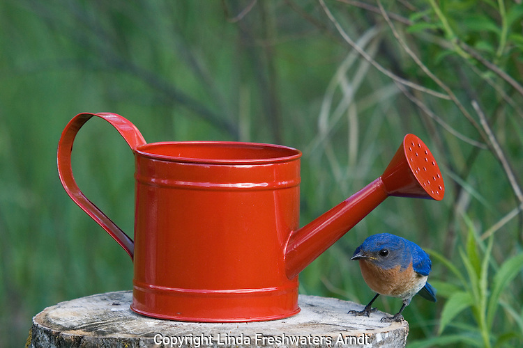 Male eastern bluebird looking around a red watering can