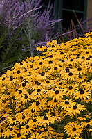 Rudbeckia hirta Black-eye Susan yellow flower in California garden
