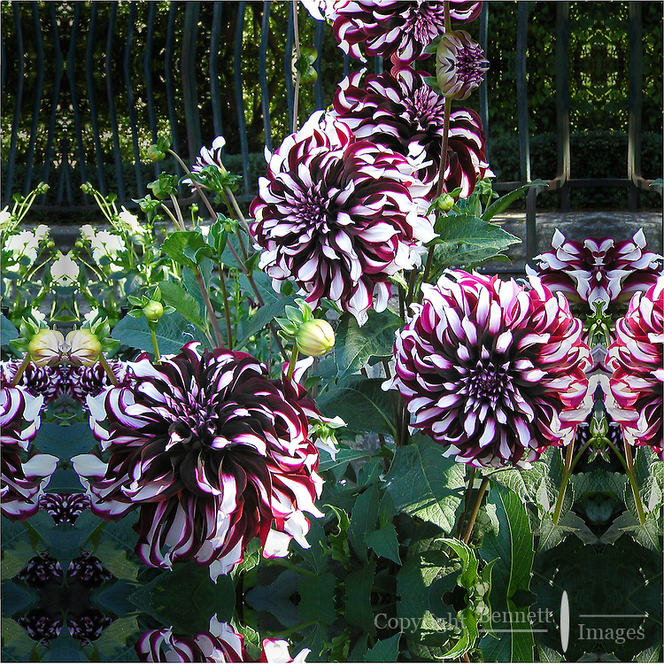 Variegated chrysthanthemums on display at the greenhouses of the Luxemburg Gardens in Paris, France.
