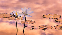 Tropical water lily flowers and pads with colorful sunrise reflected in water.