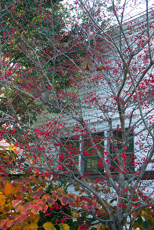 Crataegus viridis 'Winter King' hawthorn in ornamental berry berries fruit with Buxus sempervirens 'Fastigiata' boxwood and Hamamelis vernalis 'Red Imp' witchhazel in autumn fall foliage color leaf by house in home landscaping