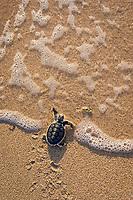 Australian flatback sea turtle hatchling, Natator depressus (c-r), endemic to Australian continental shelf, crawls down nesting beach and plunges into ocean, Torres Strait, Queensland, Australia