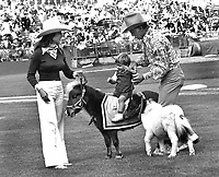 Oakland Athletics pre-game: Stan Cosca and his assistant Alexis Paris giving a youngster a ride on one of his minature ponys. (1972 photo/Ron Riesterer)