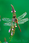 Meadowhawk (Sympetrum sp.) perched on Blue Vervain (Verbena hastata)flower in early morning, with water droplets, New York, USA<br /> Slide # IN2-30