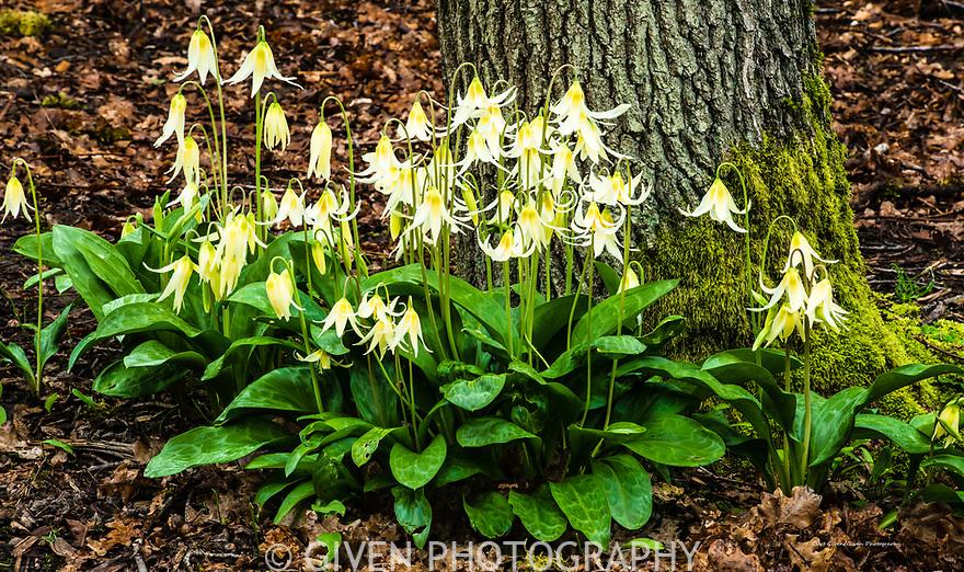 Erythronium Oregonum
