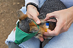 Santa Catalina Island Fox (Urocyon littoralis catalinae) biologist, Julie King, placing collar on unvaccinated male to act as an early indicator for canine distemper virus, Santa Catalina Island, Channel Islands, California