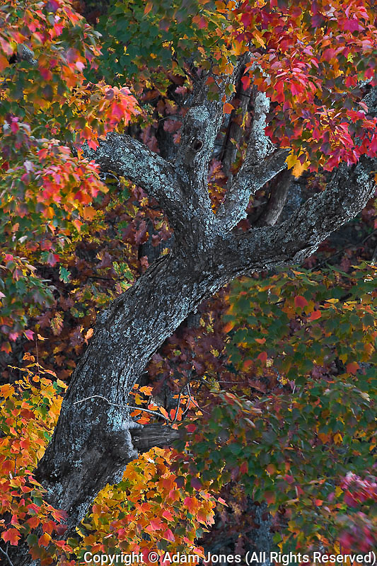 Single tree and autumn colors, Linville Gorge, Pisgah National Forest, North Carolina