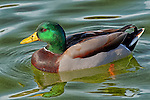 Mallard Duck swimming in Mason Park pond, CA.