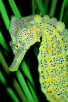 Pacific seahorse, Hippocampus ingens, are found in the Eastern Pacific . They use their tail to hold onto sea fans and grasses and change color to match their surroundings, California, Pacific Ocean