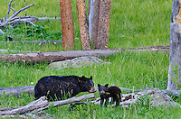 "Wild Black Bear (Ursus americanus) mother with cubs feeding in meadow area.  Western U.S., spring. (These are what are known as ""coys""--cubs of the year.)"