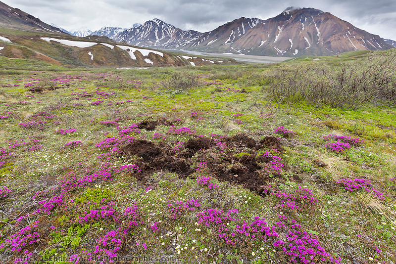 Signs of bear digging for roots in the tundra, spring blooming lapland rosebay colors the tundra in Denali National Park, Alaska Range mountains in the distance.