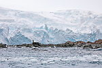 Buste of Captain Luis Pardo. Chinstrap Penguins, Point Wild, Elephant Island
