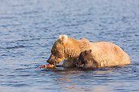 A sow and her spring cub feed on red salmon in the Brooks River, Katmai National Park, Alaska.