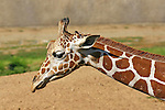 IMAGES OF SAN DIEGO, CALIFORNIA, USA, WILD ANIMAL PARK Giraffe (Giraffa camelopardalis)  African even-toed ungulate mammal