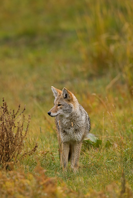 This coyote is hunting rodents in Yellowstone NP, Wyoming, USA, October 3, 2007.  Photo By Gus Curtis.