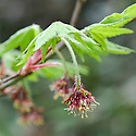 Korean maple (Acer pseudosieboldianum), mid April. Also known as purplebloom maple. Native to Manchuria, Korea.
