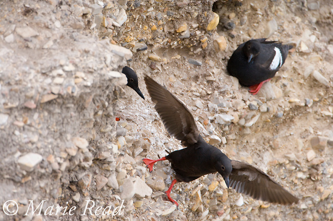 Pigeon Guillemot (Cepphus columba), taking flight from nest site on cliff face, Montana De Oro State Park, California, USA