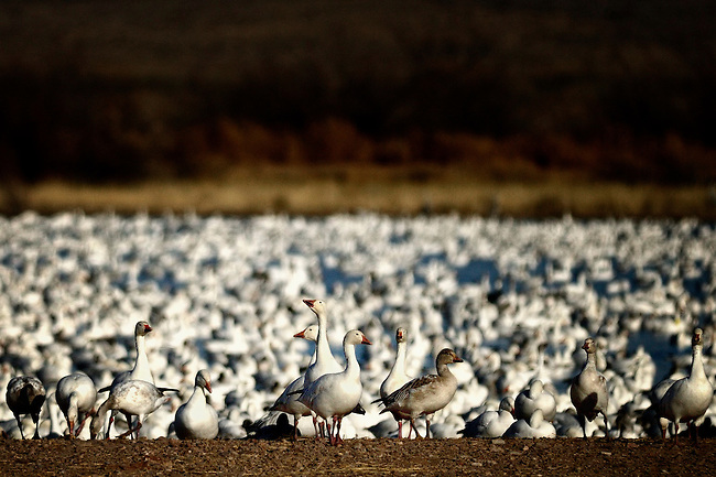 Lake full of wintering snow geese in Bosque del Apache, NM