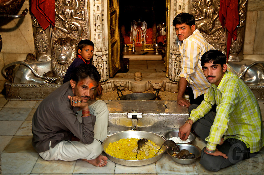 Near the desert town of Bikaner is  Deshnoke, here you find the temple of the Gajner Palace. 30 Km from Bikaner, the 600 -year old temple is dedicated to Karni Mata. .It plays host to thousands of rats. The rats are considered sacred and worshipped. .Karni Mata, born in the 14th century, was an incarnation of Durga, the goddess of power and victory. During her lifetime she performed many miracles.. Near the town of Bikaner is Deshnoke, you find the temple of the Gajner Palace. 30 Km from Bikaner, the 600 -year old temple is dedicated to Karni Mata.<br /> It plays host to thousands of rats. The rats are considered sacred and worshipped.<br /> The temple has huge intricately silver gates donated by Maharaja Ganga Singh.<br /> <br /> Rats running all over the place, every corner and niche was crawling with them.<br /> Temple priests tend to the rats by constantly refilling large bowls of milk and in the heart of the temple, the shrine, there is a huge bowl filled with Prasad (sugar balls). <br /> It is also highly likely, if not a certainty, that a &quot;holy rat&quot; will run over your feet, if so, it is considered a blessing.<br /> If a white rat is sighted then you are especially spiritually graced. Eating food or drinking water that previously has been sampled by a rat is considered to be a supreme blessing
