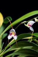 Masdevallia pulcherrima orchid species