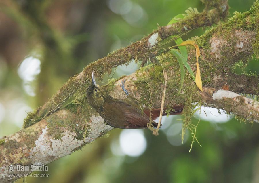 Spotted woodcreeper, Xiphorhynchus erythropygius. San Jorge de Milpe Eco-Lodge, Mindo, Ecuador