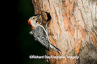 01196-031.17 Red-bellied Woodpecker (Melanerpes carolinus) female at nest cavity, Marion Co. IL