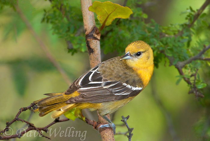 561920066 a wild first spring female baltimore oriole icterus galbula perches on a small tree limb on south padre island cameron county texas