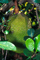 A Hawaiian fruit, Ulu or breadfruit, hanging on a tree