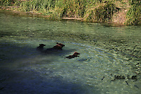 A photo of a grizzly sow with cubs swimming into a school of salmon in Alaska's Katmai National Park. Grizzly Bear or brown bear alaska Alaska Brown bears also known as Costal Grizzlies or grizzly bears