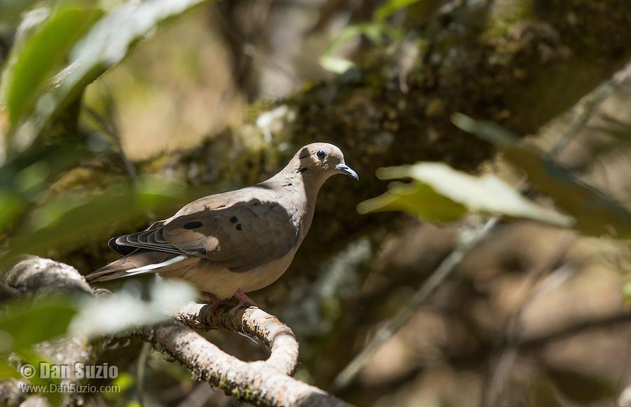 Eared Dove, Zenaida auriculata, perched on a branch at San Jorge de Quito eco-lodge, Quito, Ecuador