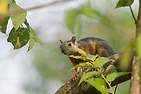 Variegated Squirrel, Carara, Costa Rica, Central America