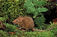 HOUSE MOUSE.British Columbia, Canada. Found worldwide..(Mus musculus).