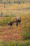 A moose feeds its young calf in Denali National Park, Alaska.