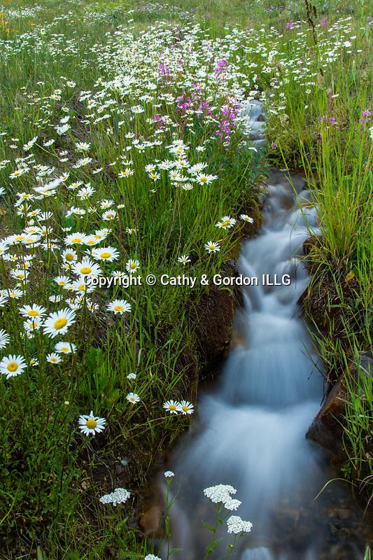 North America, USA, Colorado, San Juan Mountains, daislies and stream