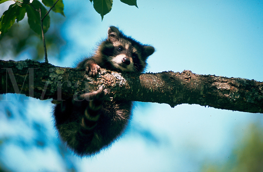 Young raccoon clinging to tree branch.