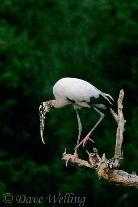 579990001 a wild wood stork mycteria americana perches on a dead tree snag on a private ranch in tamaulipas state in mexico
