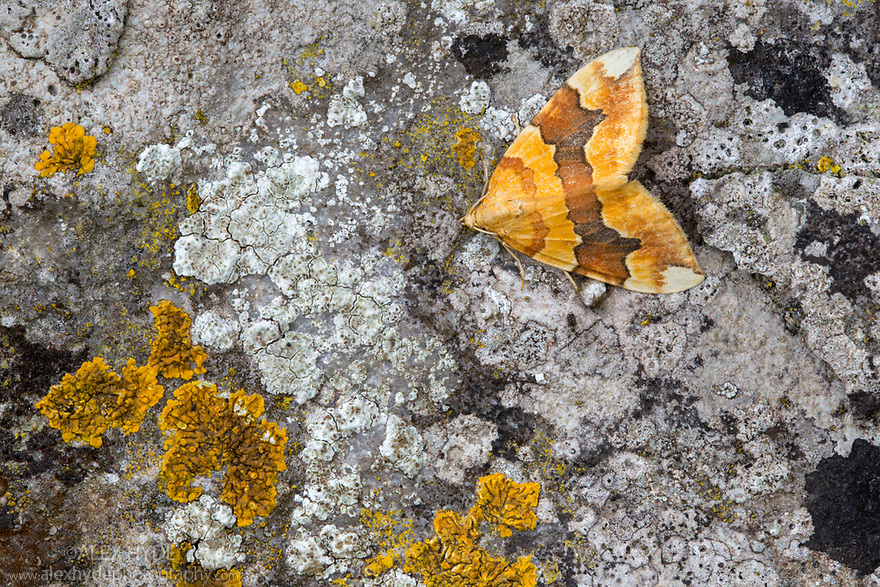 Barred Yellow {Cidaria fulvata}. Peak District National Park, Derbyshire, UK. October.