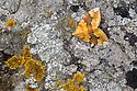Barred Yellow {Cidaria fulvata}. Peak District National Park, Derbyshire, UK. October.